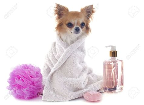 aapurebred-chihuahua-after-the-bath-in-front-of-white-background-stock-photo