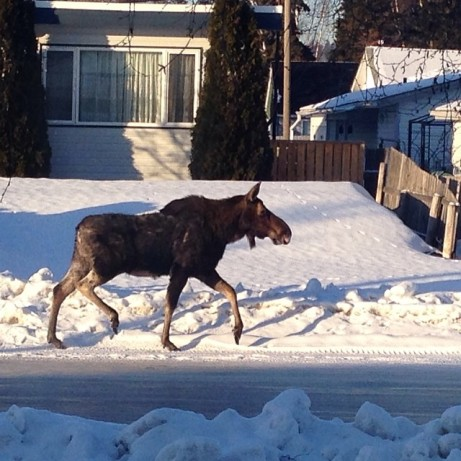 prince-george-wildlife-moose-city