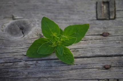 aaoregano-plant-grow-harvest